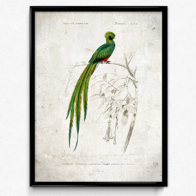 Shop for Quetzal Bird Vintage Print - Orion Wells