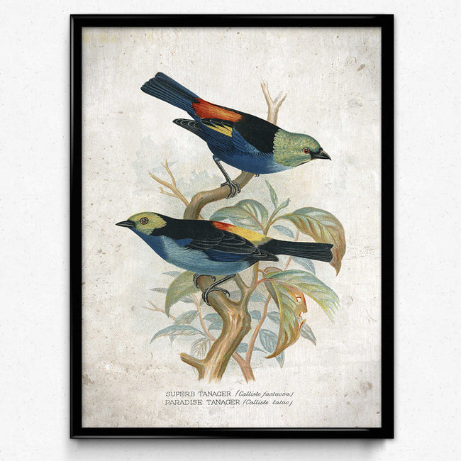 Blue Birds Vintage Print 21-Tanager Bird 포스터-VP1183-Orion Wells 쇼핑