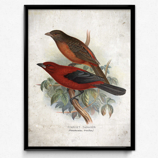 Red Birds Vintage Print 22 - Tanager Bird Poster - VP1184 - Orion Wells