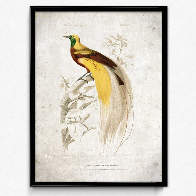 Shop for Bird of Paradise Vintage Print - VP1052 - Orion Wells