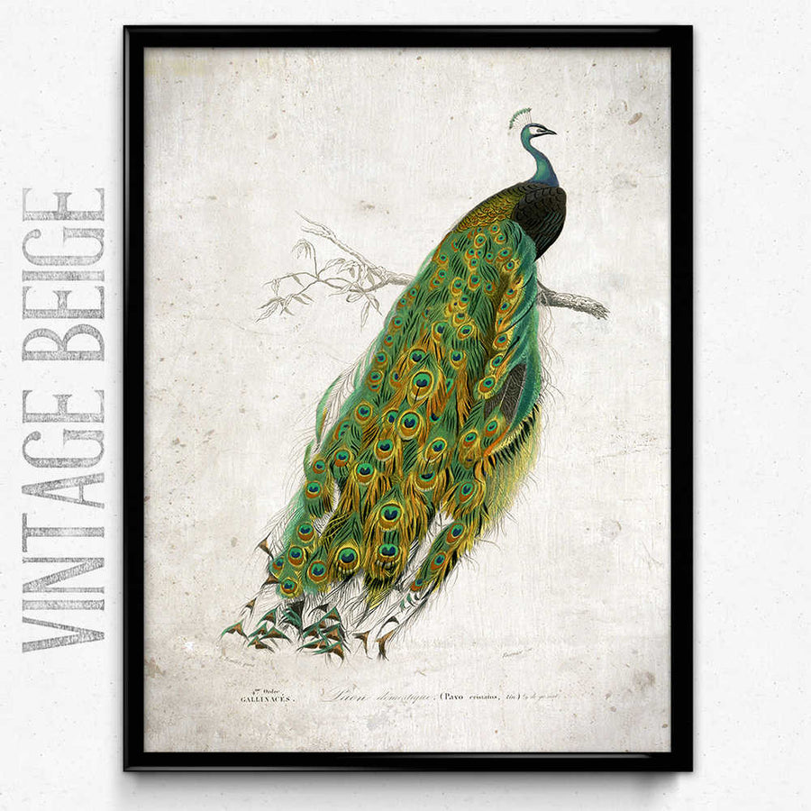 Imprimé Vintage Peacock - Orion Wells