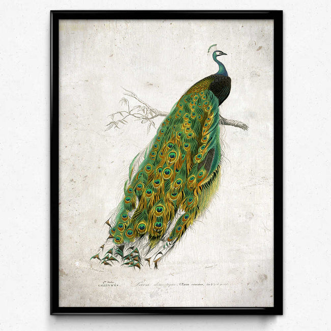 Peacock Vintage Print - Orion Wells