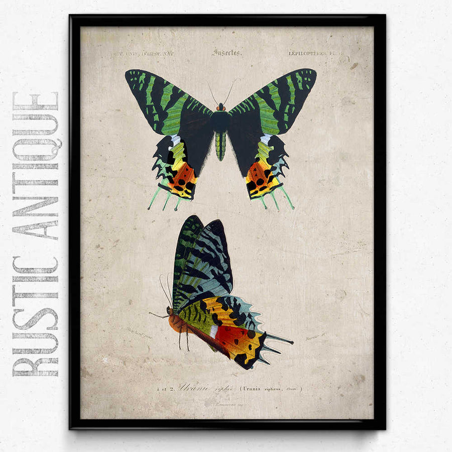 Shop for Butterflies Vintage Print 10 - Orbigny - Orion Wells