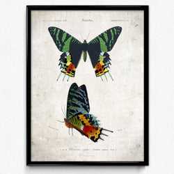 Papillons Vintage Print 10 - Orbigny - Orion Wells
