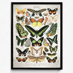 Shop for Butterflies Vintage Print 12 - Larousse (VP1101) - Orion Wells