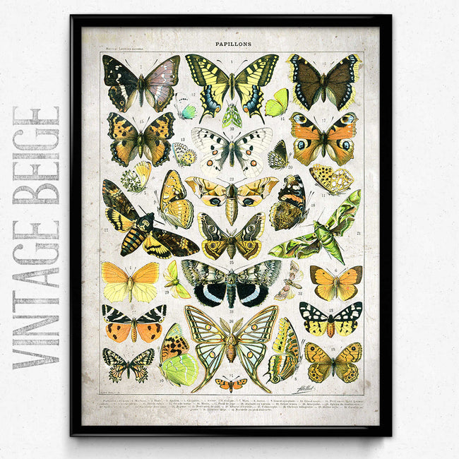 Shop for Butterflies Vintage Print 13 - Larousse VP1133 - Orion Wells
