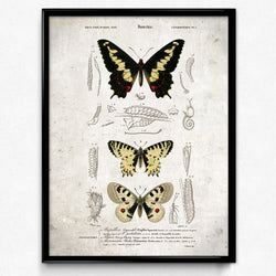 Papillons Vintage Print 14 - VP1138 - Orion Wells