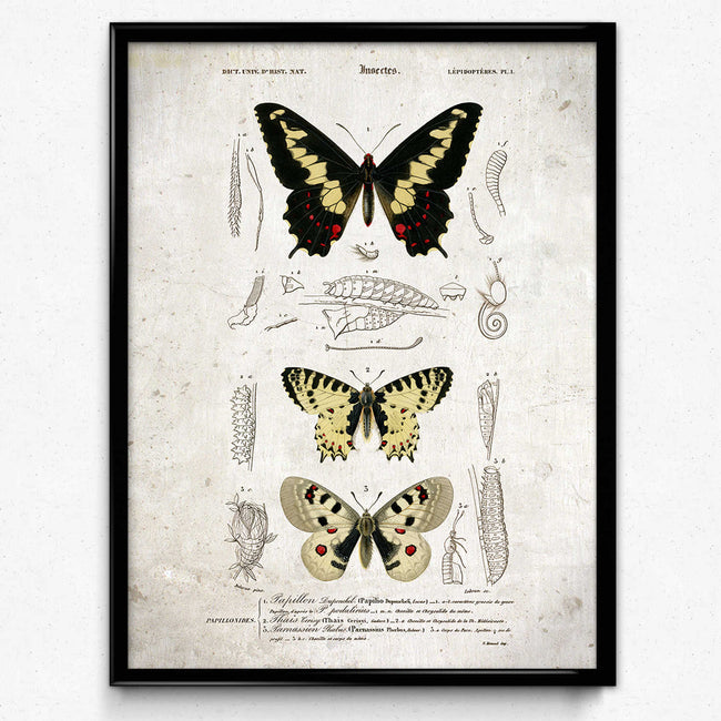 Shop for Butterflies Vintage Print 14 - VP1138 - Orion Wells