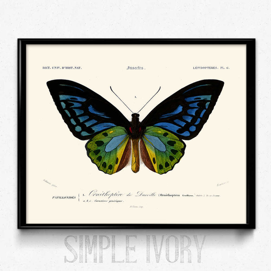 Osta Butterfly Vintage Print 7 - Orbigny - Orion Wells