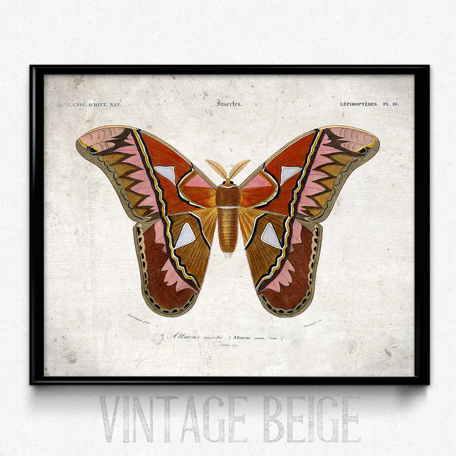 متجر لـ Butterfly Vintage Print 8 - Orbigny - Orion Wells