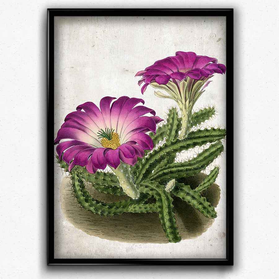Lady Finger Cactus Botanical Vintage Print - Vintage Botanical Home Decor