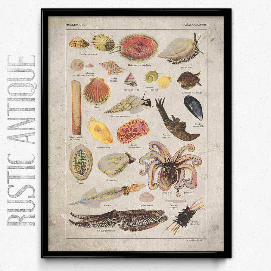 Mollusks Fish Vintage Print 19 - Orion Wells