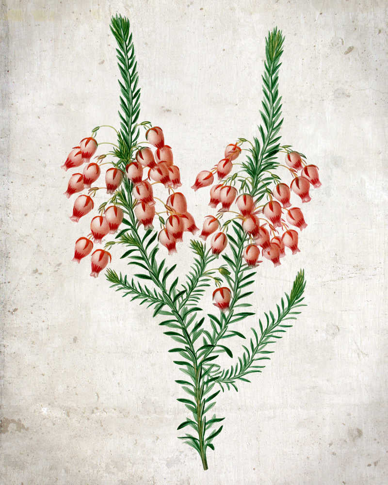 Heather Flowers Botanical Vintage Print 쇼핑- Orion Wells