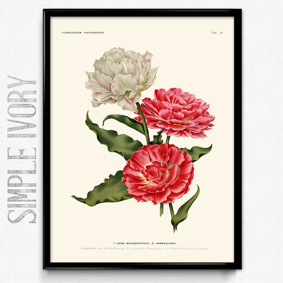 Double Tulips Pink and White Flowers Vintage Print - Orion Wells
