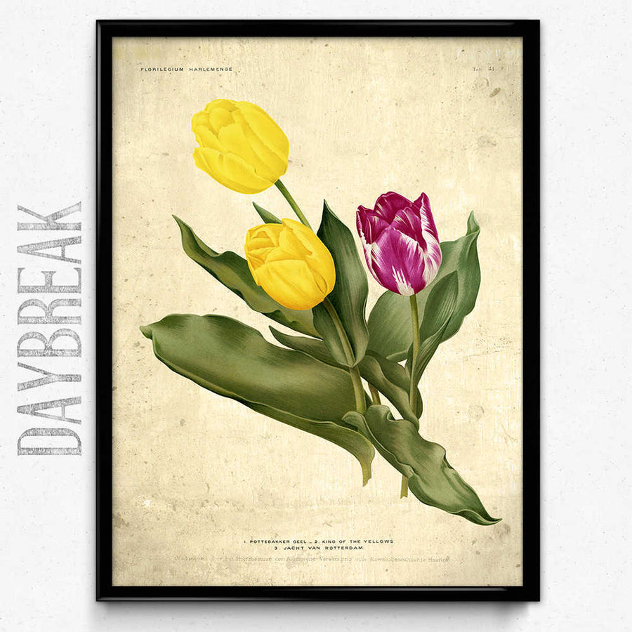Tulips Purple And Yellow Flowers Vintage Print Orion Wells