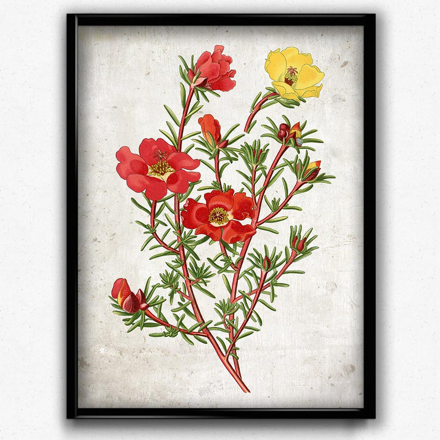 Purslane Red And Yellow Flowers Vintage Print Orion Wells