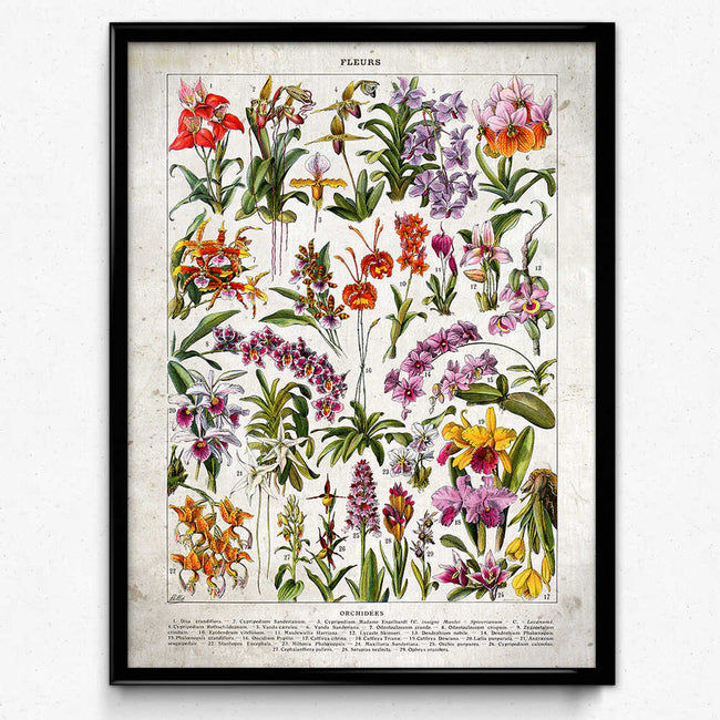 French Flowers Fleurs Vintage Print 6 - Orchids - Orion Wells