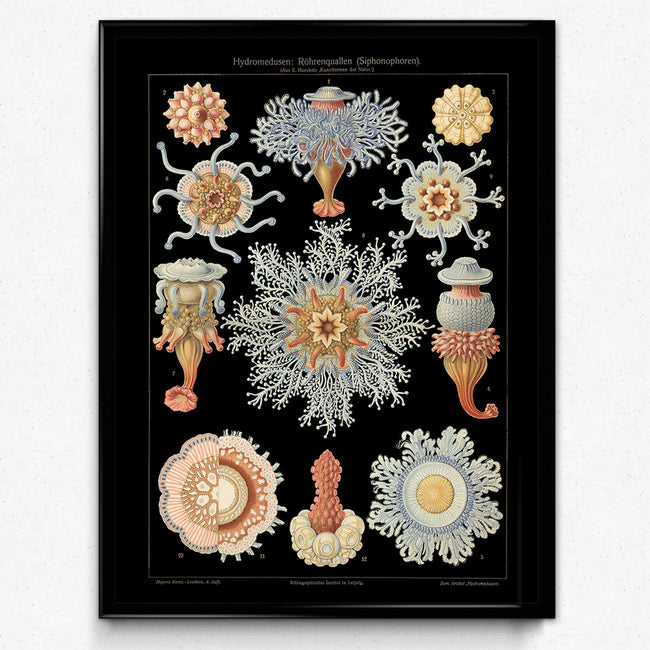 Shop for Haeckel Vintage Print 1 - Jellyfish Print - VP1150 - Orion Wells