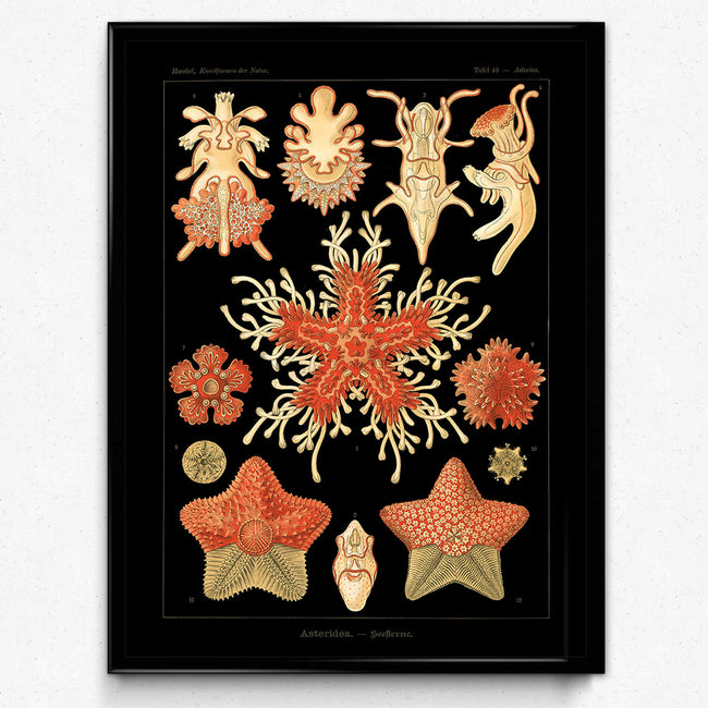 Osta Haeckel Vintage Print 2 - Star Fish Print - VP1151 - Orion Wells