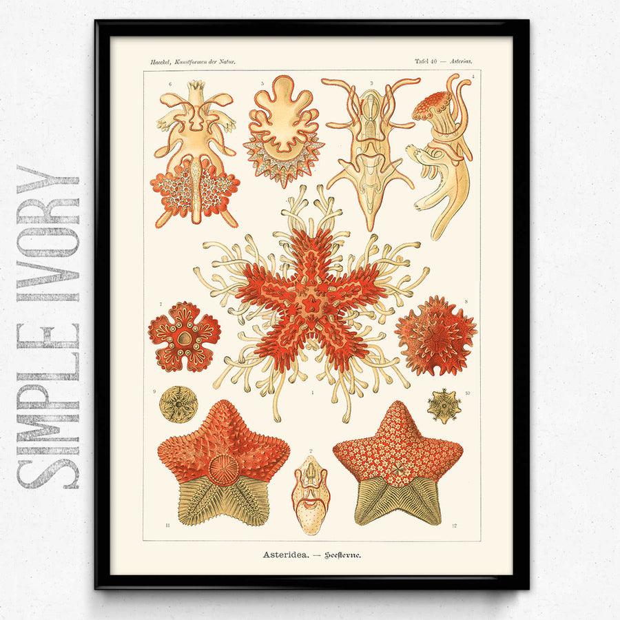 Shop for Haeckel Vintage Print 2 - Star Fish Print - VP1151 - Orion Wells
