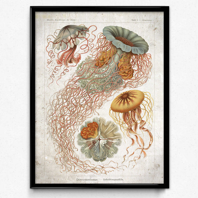 Shop for Haeckel Vintage Print 4 - Jellyfish Print - VP1153 - Orion Wells