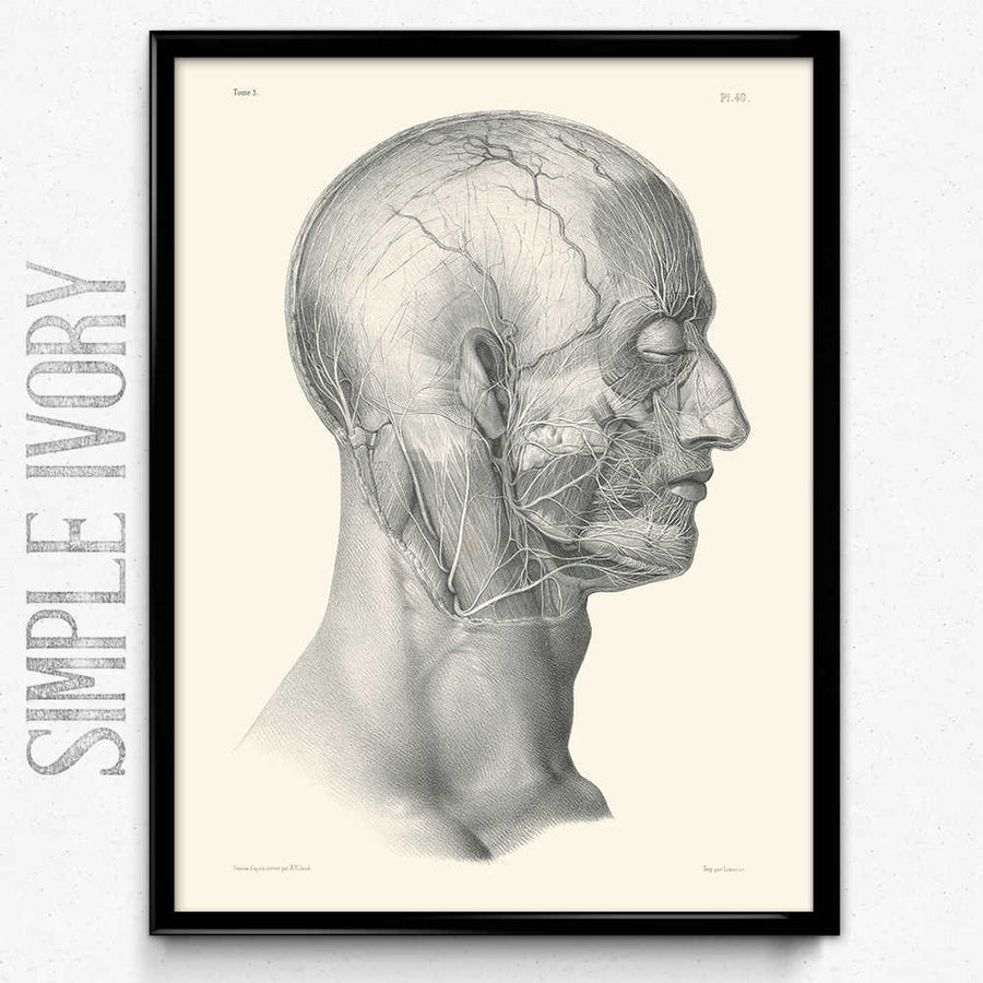 Anatomy Head Face Nerves Vintage Print - Anatomy Poster – Orion Wells