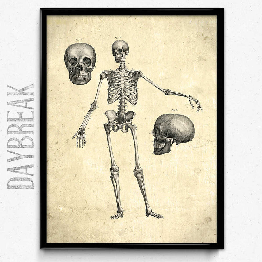 Osta Anatomy Skeleton Vintage Print, Front View - Orion Wells