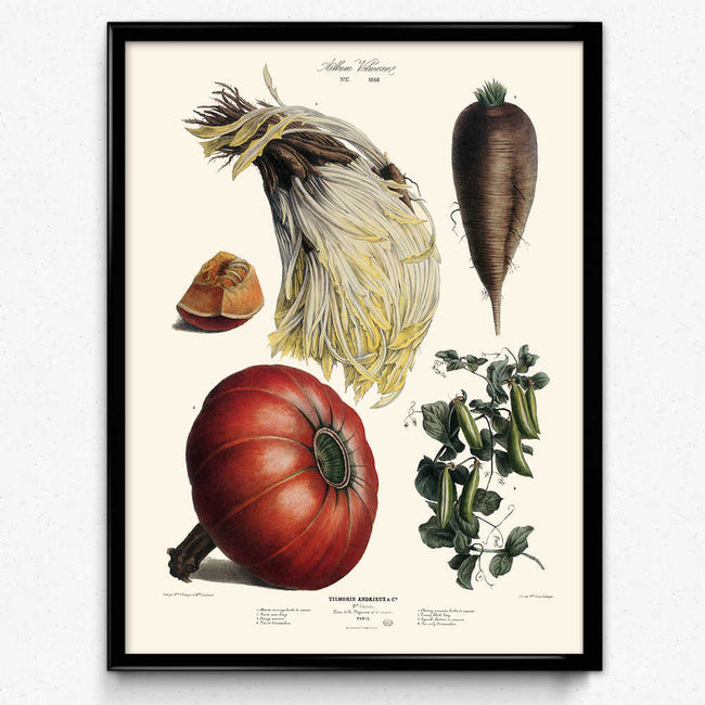 Vegetables Illustration Vintage Print 3 - Vilmorin (VP1087) - Orion Wells