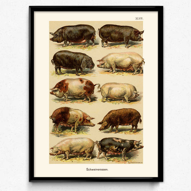 Pigs and Hogs Breeds Vintage Print 1 (VP1045) - Orion Wells