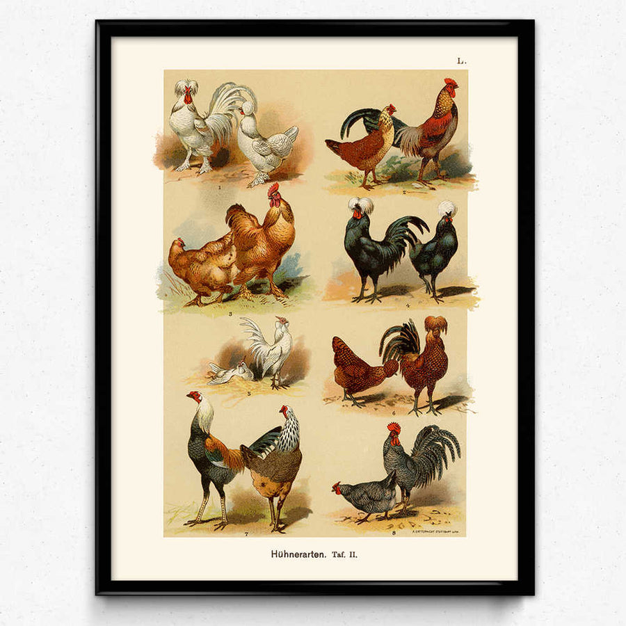 Shop for Chickens, Hens, and Roosters Breeds Vintage Print Set of 2 (VP1077) - Orion Wells