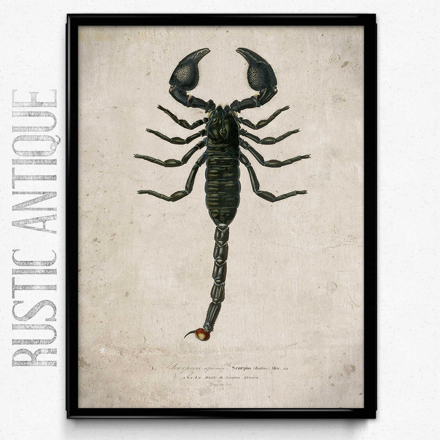 Osta Scorpion Vintage Print 1 - VP1112 - Orion Wells