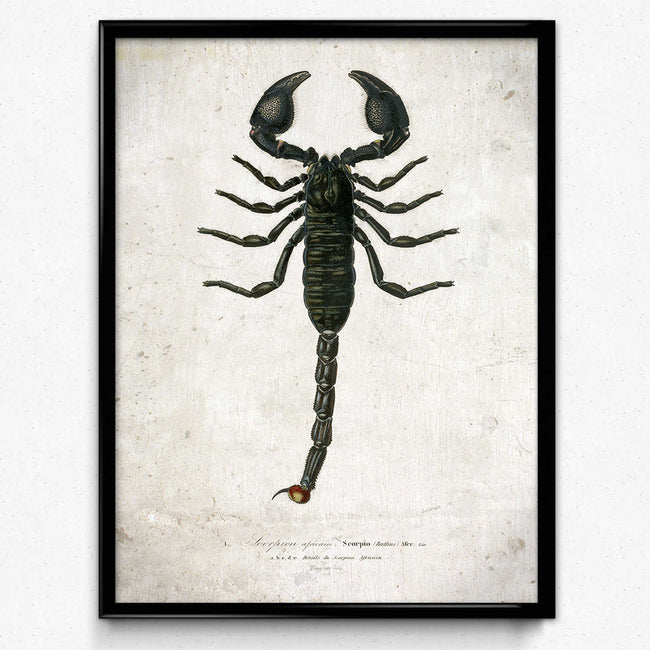 Shop for Scorpion Vintage Print 1 - VP1112 - Orion Wells