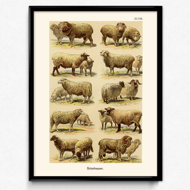 Shop for Sheep Breeds Vintage Print 1 (VP1046) - Orion Wells