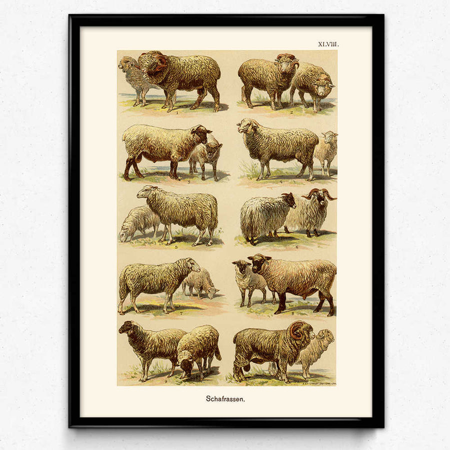 Sheep Breeds Vintage Print 1 (VP1046) - Orion Wells