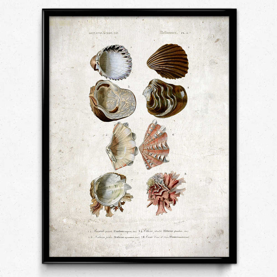 Sea Shell Vintage Print 2 - VP1110 - Orion Wells