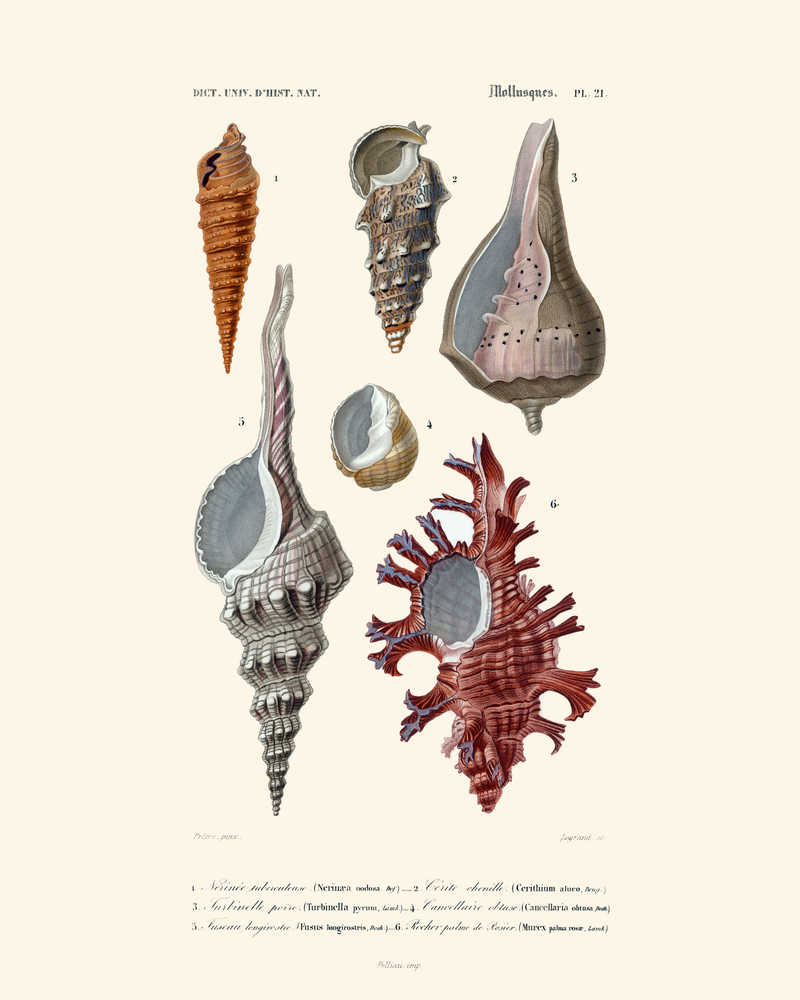 Shop for Sea Shell Vintage Print 3 - VP1079 - Orion Wells