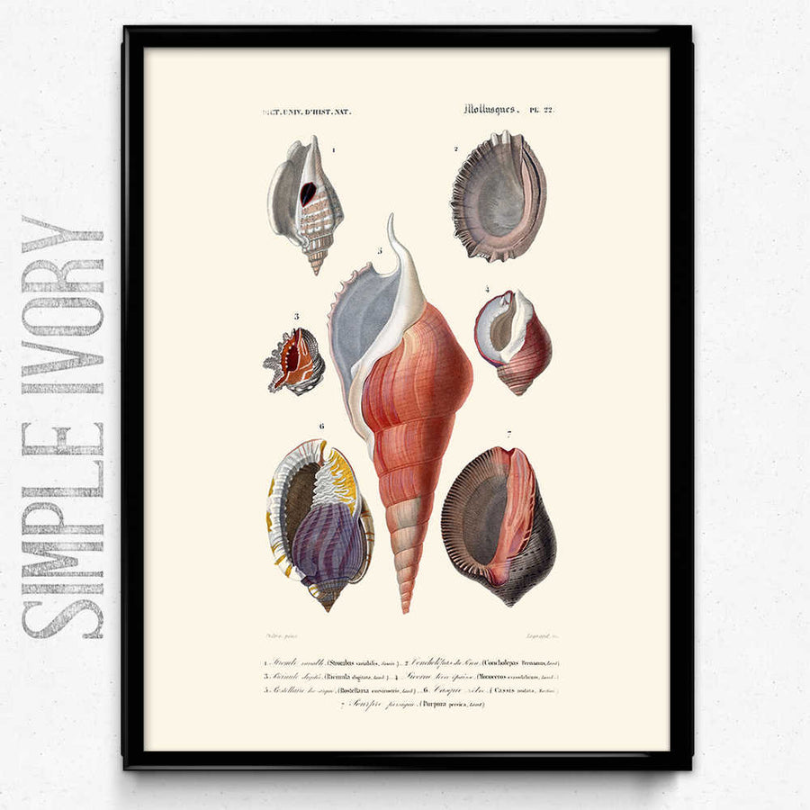 متجر Sea Shell Vintage Print 4 - VP1080 - Orion Wells