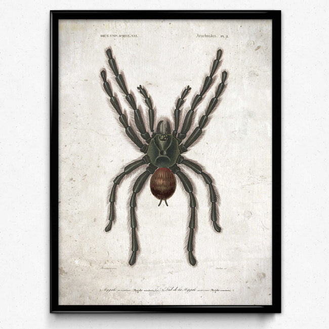 Shop for Spider Tarantula Vintage Print 1 - VP1113 - Orion Wells