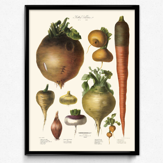 Vegetables Illustration Vintage Print 10 - Vilmorin - VP1105 - Orion Wells