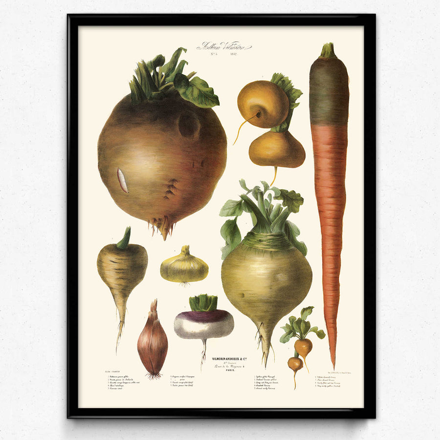 Shop for Vegetables Illustration Vintage Print 10 - Vilmorin - VP1105 - Orion Wells