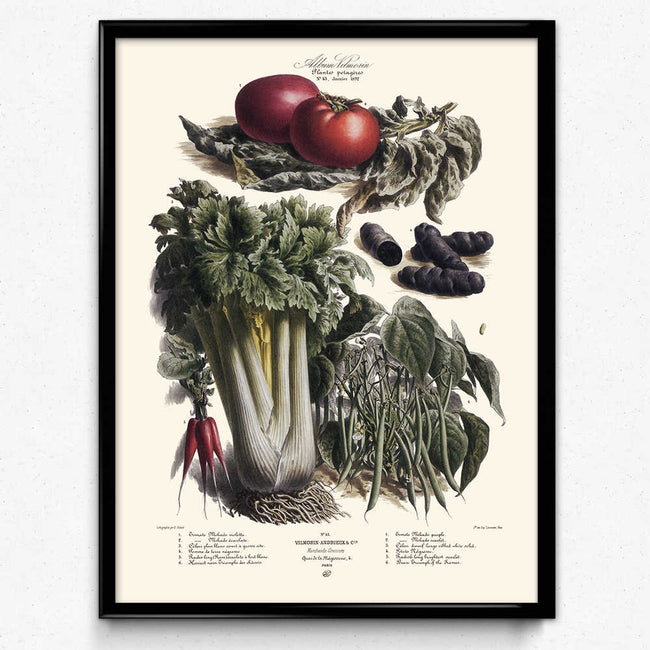Vegetables Illustration Vintage Print 4 - Vilmorin (VP1088) - Orion Wells