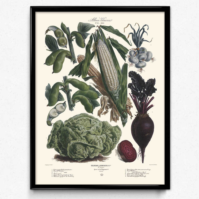 Vegetables Illustration Vintage Print 6 - Vilmorin (VP1090) - Orion Wells