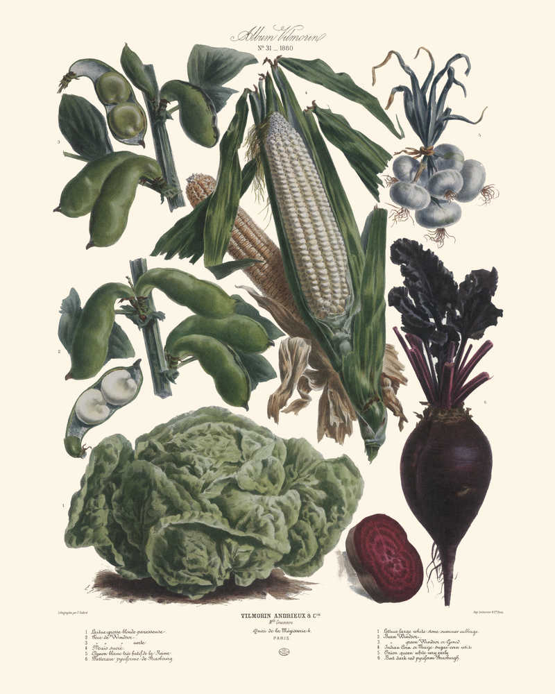Shop for Vegetables Illustration Vintage Print 6 - Vilmorin (VP1090) - Orion Wells