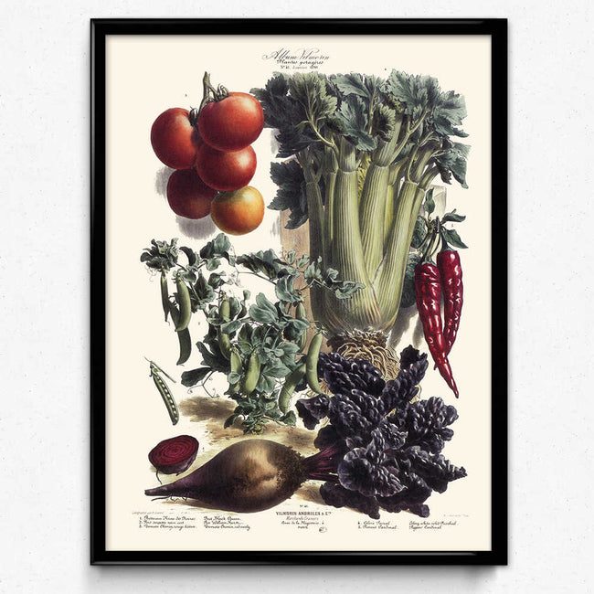 Vegetables Illustration Vintage Print 7 - Vilmorin (VP1095) - Orion Wells