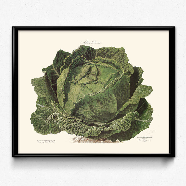 Vegetables Illustration Vintage Print 8 - Cabbage - Vilmorin (VP1107) - Orion Wells