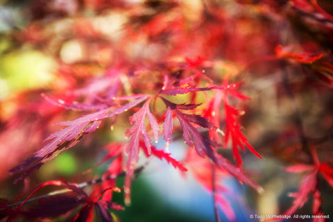 Red Fall Leaves Art Prints
