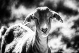 Black and White Goat Art Prints
