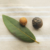 where to buy bay tree seeds