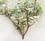 buy fresh manzanita branch