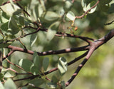 Fresh Manzanita Branches | Statement Greenery, Fill Greenery